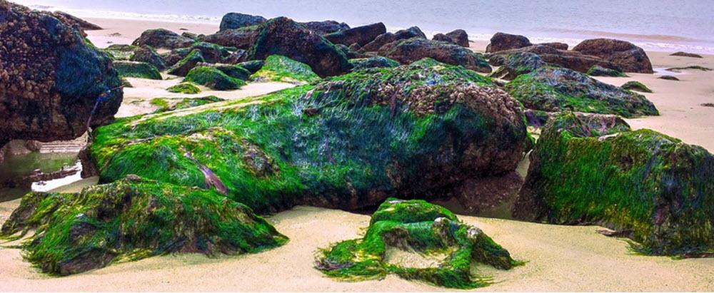 algae oil
